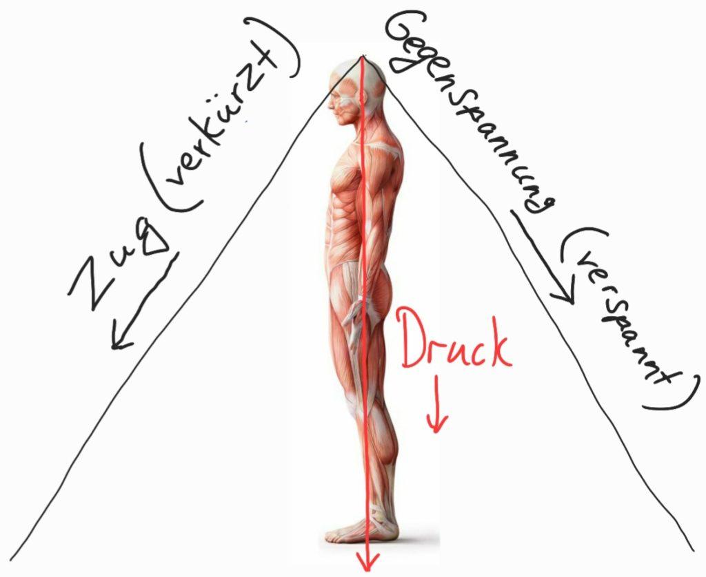 Entstehung von Schmerzen durch gegensätzliche Kräfte der Muskeln
